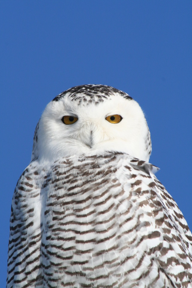 One of my favorite bird outings every winter, for Snowy Owls.