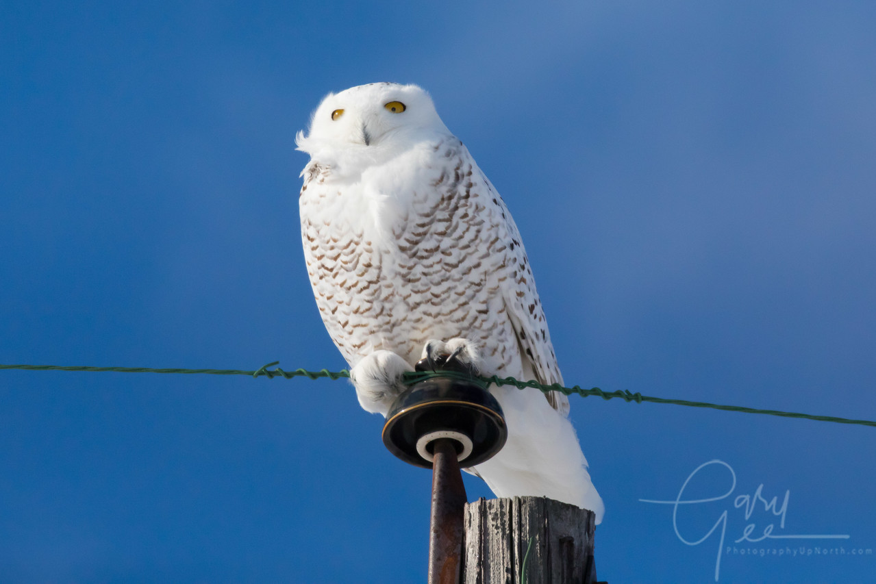 Snowy Owl - January 2018
