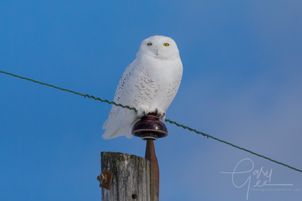 Mature Snowy Owl on a Pole - January 2018