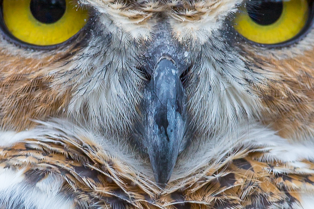 Great Horned Owl - a look into his eyes!
