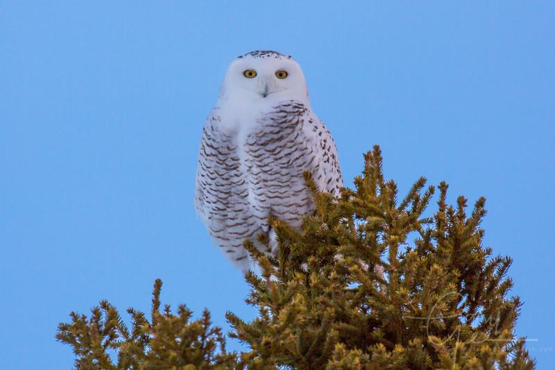 Snowy Owl in Rudyard Michigan