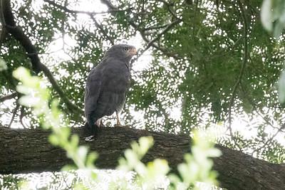 Western Banden Snake-Eagle