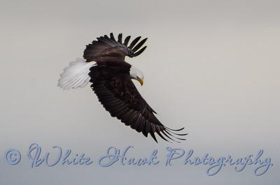 2016-03-19 - Bald Eagle