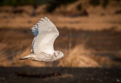 Snowy Owl, Ocean Shores WA