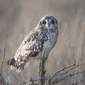 2016-12-30 Short-eared Owl