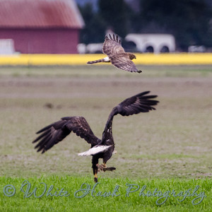 2016-03-07 - Bald Eagle and Hawk fighting over lunch