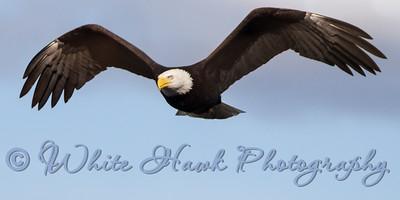 2016-02-20 - Bald Eagle