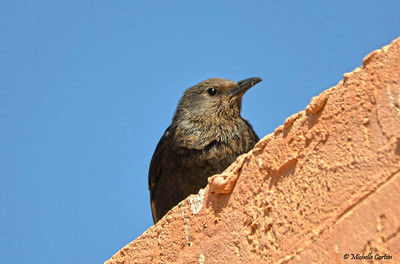 Tristram's Starling (female)