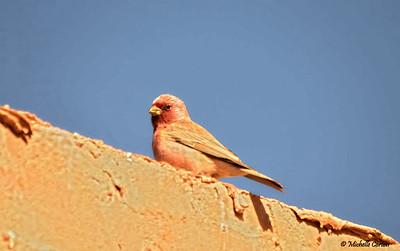 Sinai Rosefinch (male)