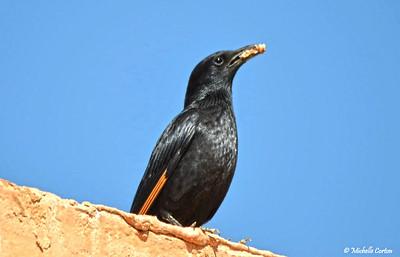 Tristram's Starling (male)