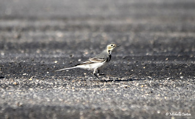 White Wagtail (female)