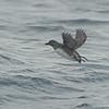 Cassin's Auklet (Ptychoramphus aleuticus)  Monterey Bay, CA