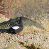 Black Guillemot (Cepphus grylle) Eastern Egg Rock, Knox County ME