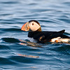 Atlantic Puffin (Fratercula arctica) Eastern Egg Rock, Knox County ME
