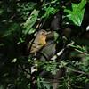 Dusky Antbird (Cercomacra tyrannina) Pipeline Road Discovery Center, Gamboa, Panama