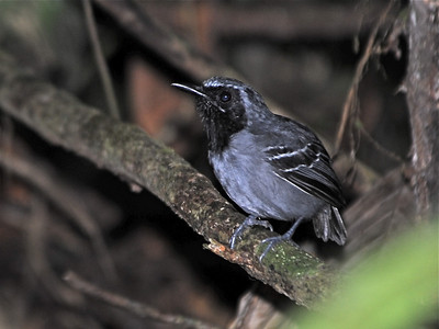 Antshrikes, Antwrens, Antbirds and Crescentchests