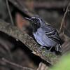 Black-faced Antbird (Myrmoborus myotherinus) Allpahuayo Reserve, Iquitos, Peru