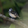 Dot-backed Antbird (Hylophylax punctulatus) Cristalino Lodge, Alta Floresta, Mato Grosso, Brazil