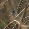 Northern Slaty-Antshrike (Thamnophilus punctatus) Gotas de Agua, Maranon Valley, Peru