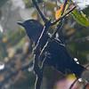 Variable Antshrike (Thamnophilus caerulescens) Abra Patricia, Amazonas, Peru