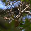 Black-backed Antshrike (Thamnophilus melanonotus) ProAves Eldorado Reserva, Magdalena, Columbia