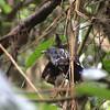 Amazonian Antshrike (Thamnophilus amazonicus) Rupinuni River Valley, Guyana