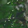 Gray Antbird (Cercomacra cinerascens) Cristalino Lodge, Alta Floresta, Mato Grosso, Brazil