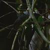 Plain-winged Antshrike (Thamnophilus schistaceus) Cristalino Lodge, Alta Floresta, Mato Grosso, Brazil
