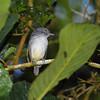Spot-crowned Antvireo (Dysithamnus puncticeps) El Valle, Panama