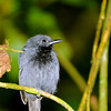 Chestnut-backed Antbird (Myrmeciza exsul) El Valle, Panama