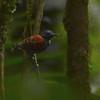 Spotted Antbird (Hylophylax naevioides) Rio Platano Reserve, La Moskitia, Honduras
