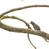 Lined Antshrike (Thamnophilus tenuepunctatus) Affluente, Peru