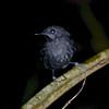 Common Scale-backed Antbird (Willisornis poecilinotus) Cristalino Lodge, Alta Floresta, Mato Grosso, Brazil