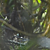Pale-billed Antpitta (Grallaria carrikeri) La Florida, Amazonas, Peru