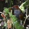 Chestnut-naped Antpitta (Grallaria nuchalis) Rio Blanco Reserve, Caldas, Columbia