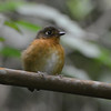 Rusty-breasted Antpitta (Grallaricula ferrugineipectus) ProAves El Dorado Reserve, Magdalena, Columbia