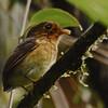 Ochre-breasted Antpitta (Grallaricula flavirostris) Tapanti NP, Cartago, Costa Rica