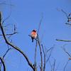 Red-capped Robin (Petroica goodenovii) Deniliquin, New South Wales, Australia