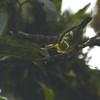 Versicolored Barbet (Eubucco versicolor) Afluente, San Martin, Peru