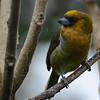 Prong-billed Barbet (Semnornis frantzii) Cinchona, Alajuela, Costa Rica