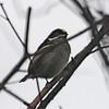 Western Green Tinkerbird (Pogoniulus coryphaeus) Mgahinga Gorilla Reserve, Uganda