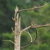 Vieillot's Barbet (Lybius vieilloti), Assin Fosu, Ghana