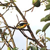 Gilded Barbet (Capito auratus) Moyabamba, Peru