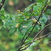 Yellow-rumped Tinkerbird (Pogoniulus bilineatus) Bwindi Impenetrable Forest, Uganda