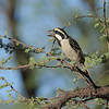 Acacia Pied Barbet (Tricholaema leucomelas) Etosha NP, Namibia