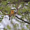 Little Bee-eater (Merops pusillus) Xaro Lodge, Okavongo River, Botswana