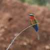 Red-throated Bee-eater (Merops bulocki) Murchison Fallls NP, Uganda