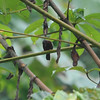 Chestnut-breasted Nigrita (Nigrita bicolor) Ankasa Forest and Reserve, Ghana