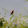 Black-winged Red Bishop (Euplectes hordeaceus) Winneba Plains, Ghana