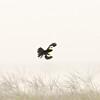 White-winged Widowbird (Euplectes albonotatus) near Devon, Gauteng, South Africa